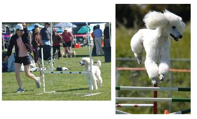 versitality-poodles-23
